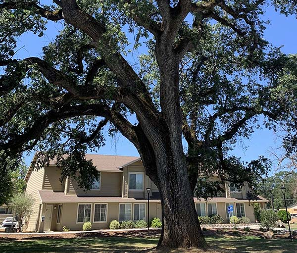 The Courtyard at Penn Apartment Complex with a beautiful Oak tree in the foreground